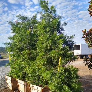 Large Box Trees 48 Inch
