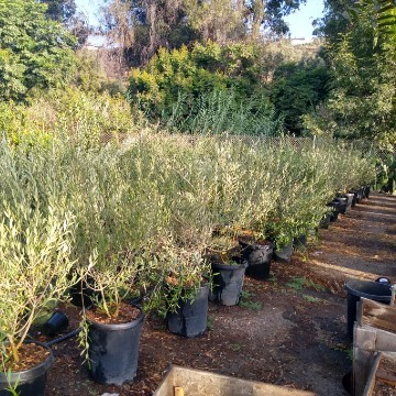 5 Gallon Olive Trees