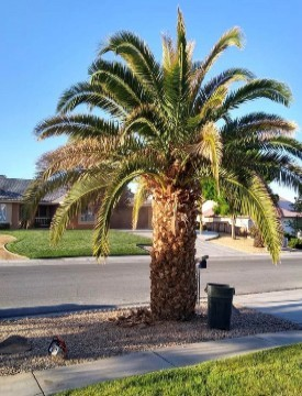Short Palm Tree With Dying Palm Fronds Need Tree Trimming