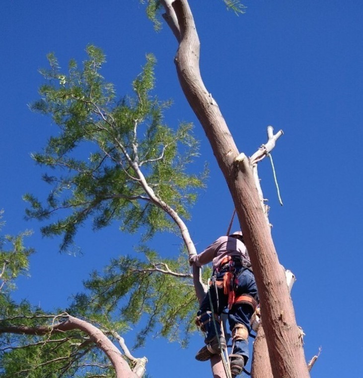 Large Tree Removal, Most Limbs Removed, Just One Big Limb Left and Then The Trunk Is The Last To Be Removed