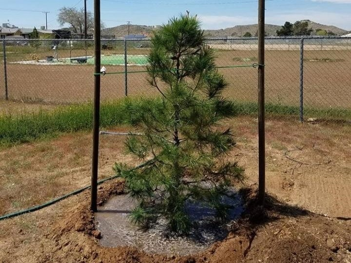 15 Gallon Pine Tree Planted, Moat Watering