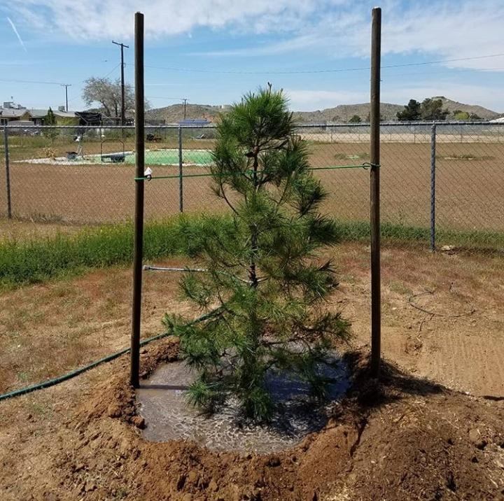 We Planted this 15 Gallon Pine Tree, Properly Staked for High Desert Winds, Moat Recommended for Watering